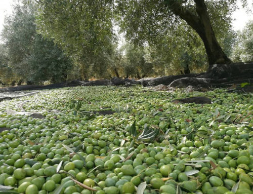 オリーブオイル事業者「Sierra de Génave シエラ・デ・ヘナベ」インタビュー